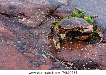 A Washed-up Crab, Covered in Kelp, Lying on a Rock Bed by the Ocean with Room for Text