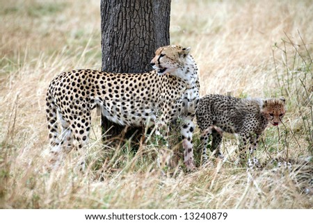 A watchful cheetah with cubs after a kill in the Masai Mara Reserve in Kenya