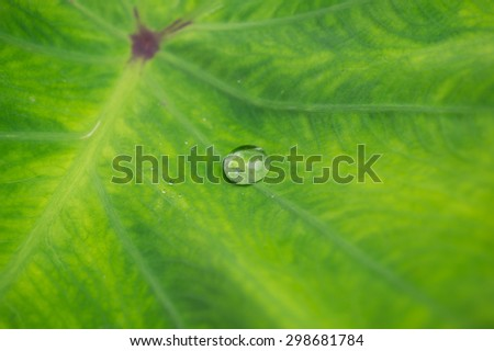 A water drop on a taro leaf background - stock photo