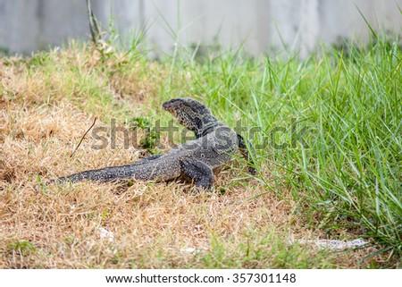A water monitor, Sri Lanka, big lizard - stock photo