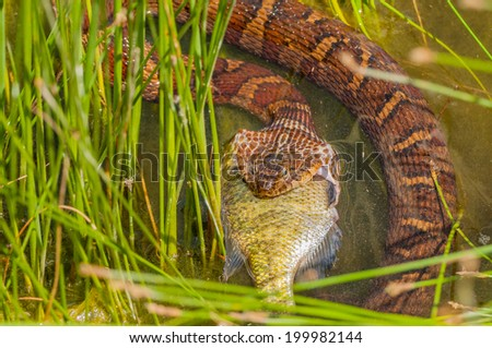 A Water Snake Eating Prey at the edge of a pond. - stock photo