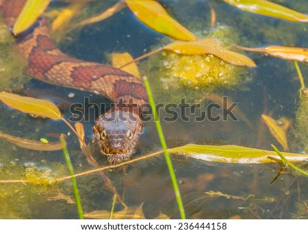 A Water Snake swimming in a pond. - stock photo