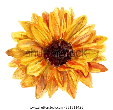 A watercolor drawing of an open bud of a sunflower on white background, vintage style botanical art - stock photo