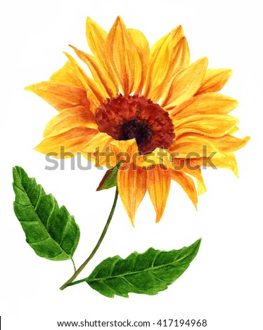 A watercolor yellow sunflower with two green leaves, hand painted in the style of vintage botanical art on white background - stock photo