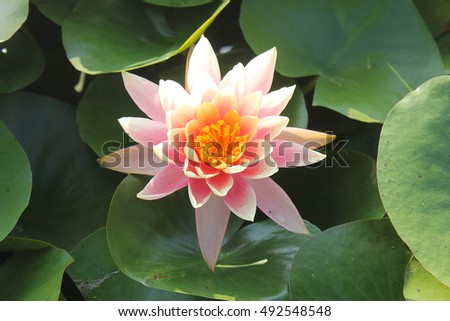 a waterlily among leaves
