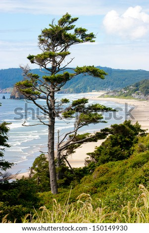 A weather beaten pine tree with an Oregon coast beach in the background - stock photo