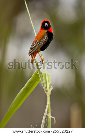 A weaver bird clings to a reed near a river.