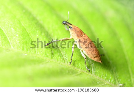 A weevil crawling on the green leaves   - stock photo