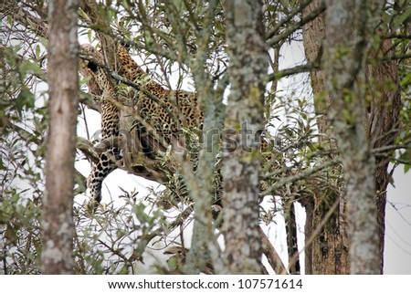 A Well-camouflaged WILD Leopard (Panthera pardus) lies motionless in a tree in Kenya, Africa. - stock photo