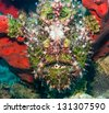 A well hidden green frogfish opens its mouth to the camera - stock photo