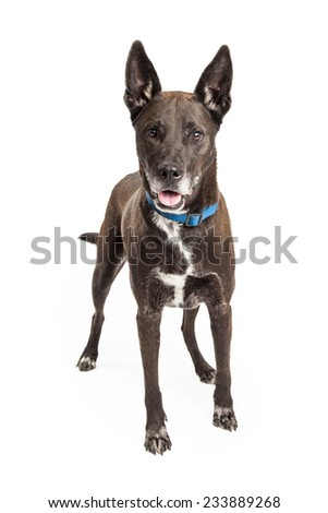 A well trained Large Mix Breed Dog standing at an angle with an open mouth.  Dog is looking directly into the camera.