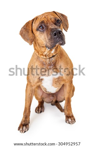 A well trained large Mixed Breed Dog sitting looking up at an angle