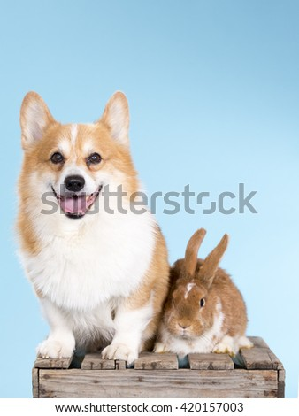 A Welsh Corgi and a bunny posing together on a wooden box. Image has a turquoise background. Image taken in a studio.