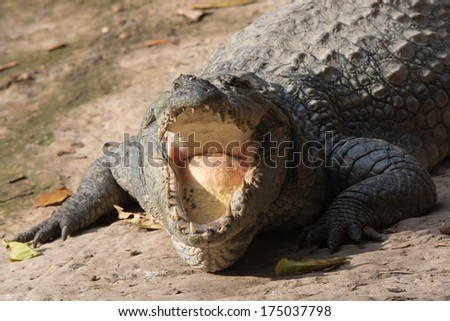 A West African Crocodile (Crocodylus suchus) - an open mouth view - stock photo