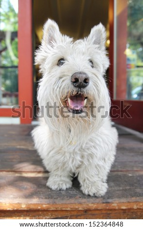 a west highland terrier on a porch smiling  - stock photo