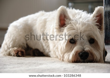 A West Highland terrier relaxing on the carpet.