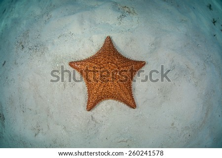 A West Indian starfish (Oreaster reticulatus) lies on the shallow seafloor off the coast of Belize. This echinoderm is an omnivore and feeds on algae, sponges, and invertebrates. - stock photo