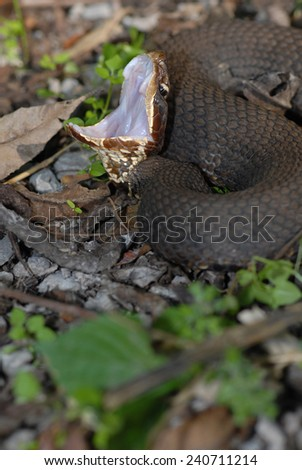 A western cottonmouth displaying  defense posture and showing the cotton white interior of it's mouth. - stock photo