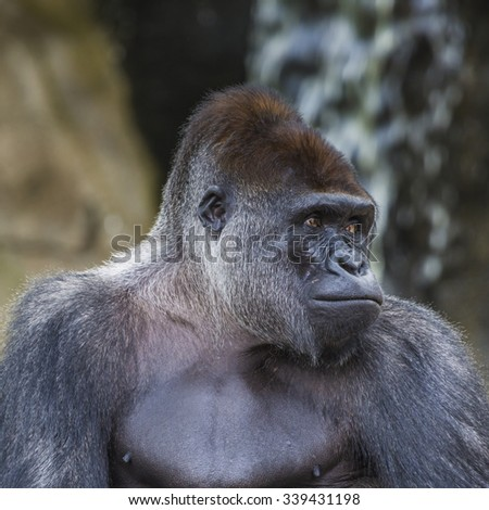 A western lowland female gorilla standing facing forward - stock photo