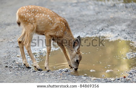 A western mule deer fawn (Odocoileus hemionus) drinks from a puddle of water in the Curry Village area of Yosemite National Park in California. - stock photo