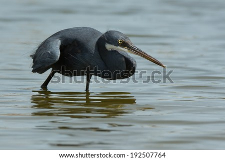 A Western Reef Heron (Egretta gularis) copying the hunting style of a Black Heron - stock photo