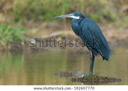 A Western Reef Heron (Egretta gularis) standing on small island in a pond - stock photo