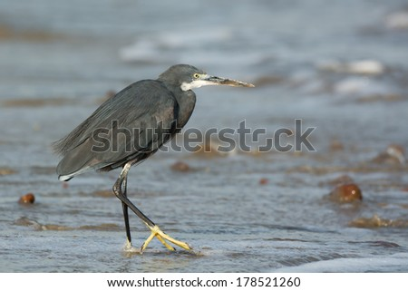 A Western Reef Heron (Egretta gularis) walking in shallow surf - stock photo