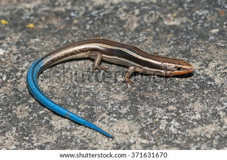 A western skink found in the Laguna Mountains of Southern California.