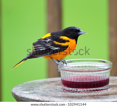 A wet Baltimore Oriole perched on a grape jelly dish in a rain shower. - stock photo