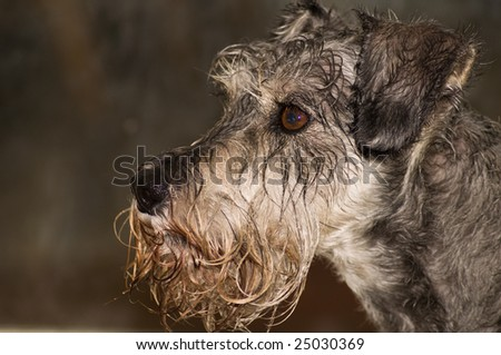 A wet grey miniature schnauzer in profile, neutral background. - stock photo