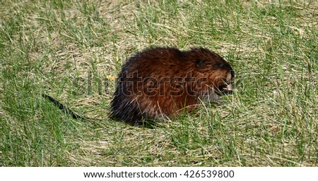 A wet river rat searches for food in the grass - stock photo