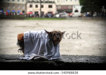 a wet yorkshire terrier sitting on a stone wall in the rain - stock photo
