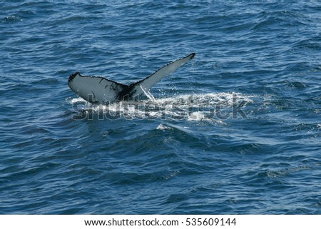 A whale begins a deep dive, with the flipping of its huge tail fins before disappearing in to the deep, a true tourist sightseeing adventure. .