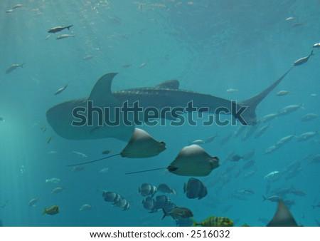 a whale shark and a school of manta rays swims across at the Georgia Aquarium - stock photo