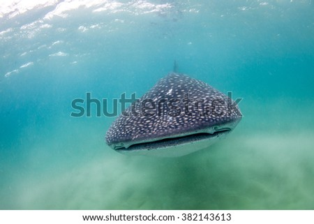 A whale shark peacefully approaching
