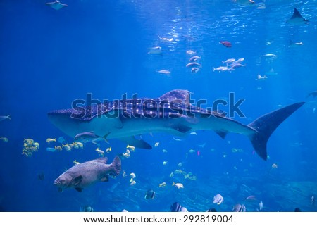 A Whale Shark (Rhicodon Typus) swims in shallow water past a grouper and rays - stock photo