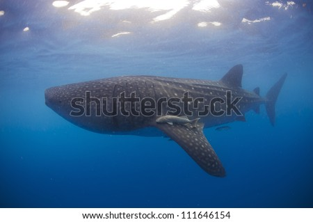 A Whale shark  (Rhincodon typus) swims underwater off the coast of cancun mexico during a large migration in the summer. - stock photo