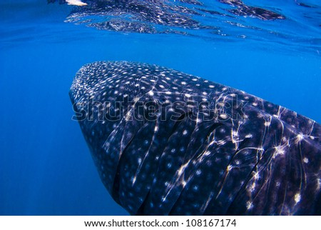 A whale shark swimming after plankton - stock photo
