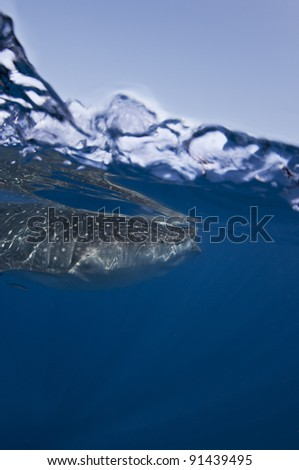 a whale shark swims just beneath the surface looking to feed on phytoplankton - stock photo