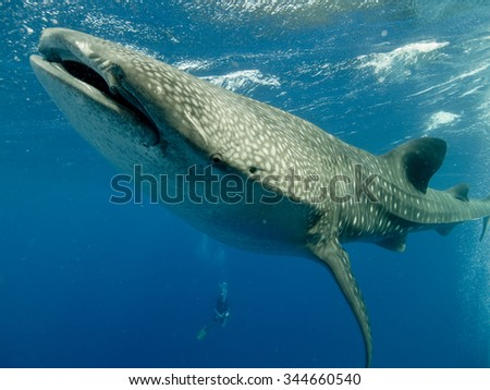 A whale shark underwater swimming towards the camera - stock photo