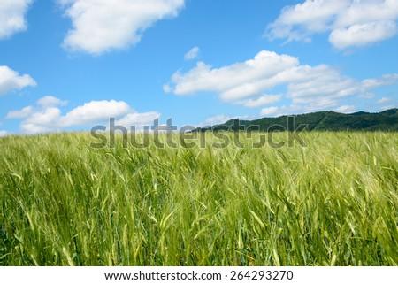 A wheat field. - stock photo