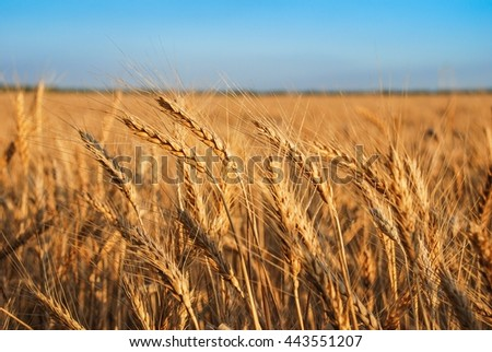 A wheat field