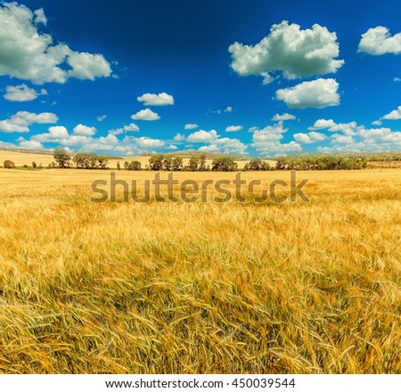 A wheat field, fresh crop. Nature photo idea rich harvest. Beautiful sunny day in the field with blue sky. Overcast sky. used as background  - stock photo