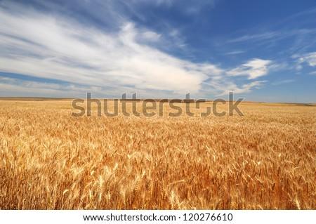 A wheat field in Palouse, WA - stock photo