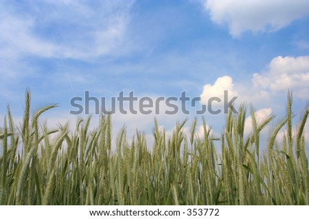 a wheat field meets the sky