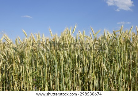 A wheat field ready for harvest.