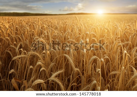 A wheat field with the sun touching the horizon in a blue sky with clouds - stock photo