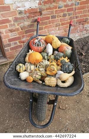A wheelbarrow loaded with multicoloured gourds. - stock photo
