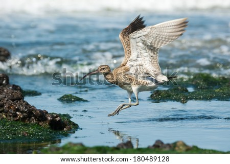 A Whimbrel (Numenius Phaeopus) landing in a tidal pool - stock photo