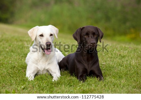 A white and a brown labrador retriever female are lying in the green grass in a park. - stock photo